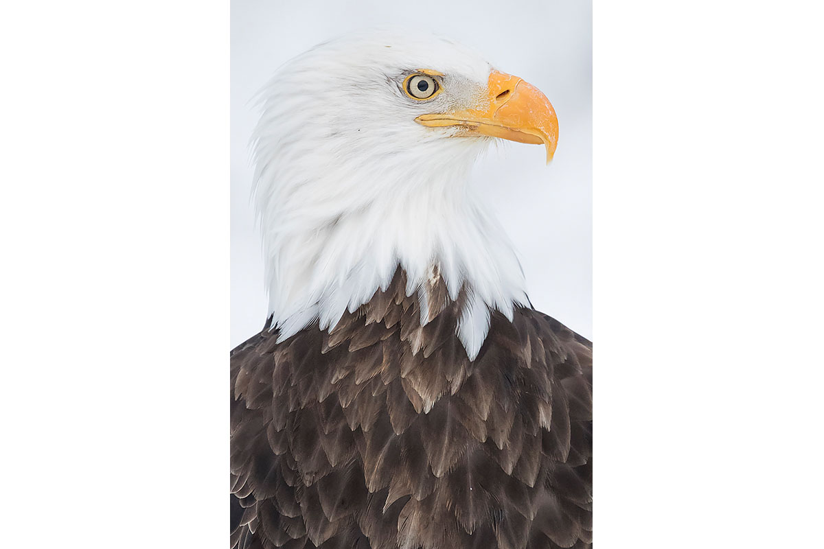 Alaska Bald Eagles_Fine Art_Bald Portrait