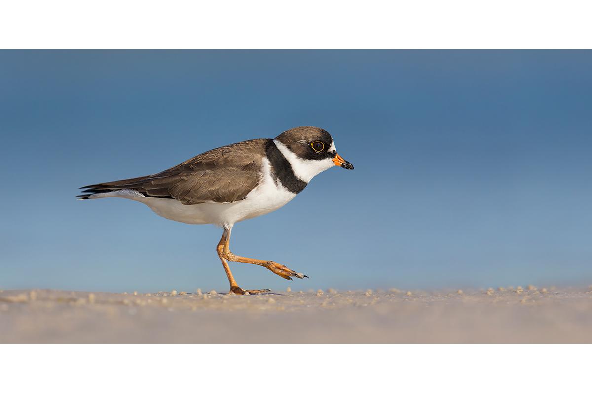 Fine Art Florida Birds_Beach Stroll