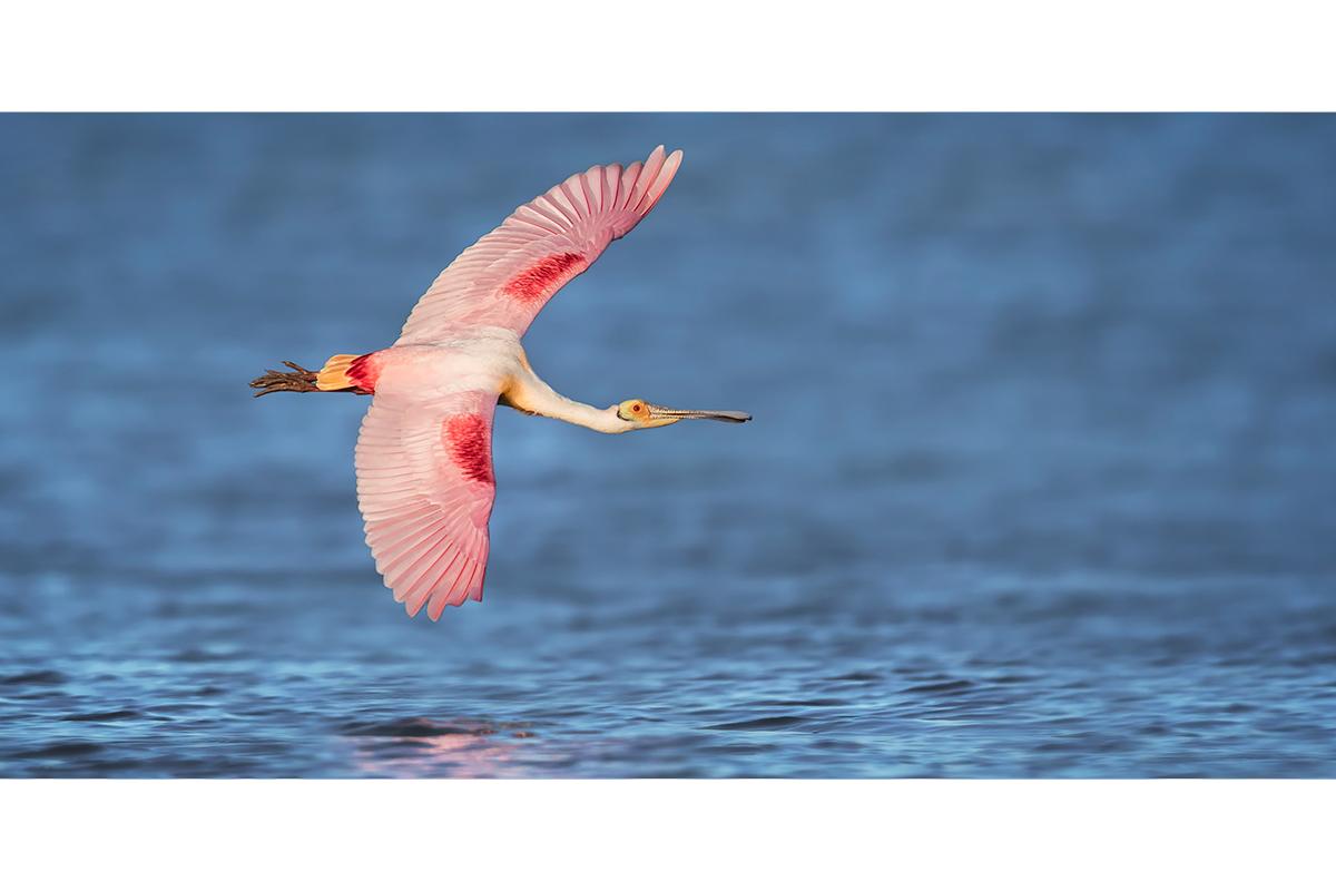 Fine Art_Florida Spoonbills_Pink Banking On Blue