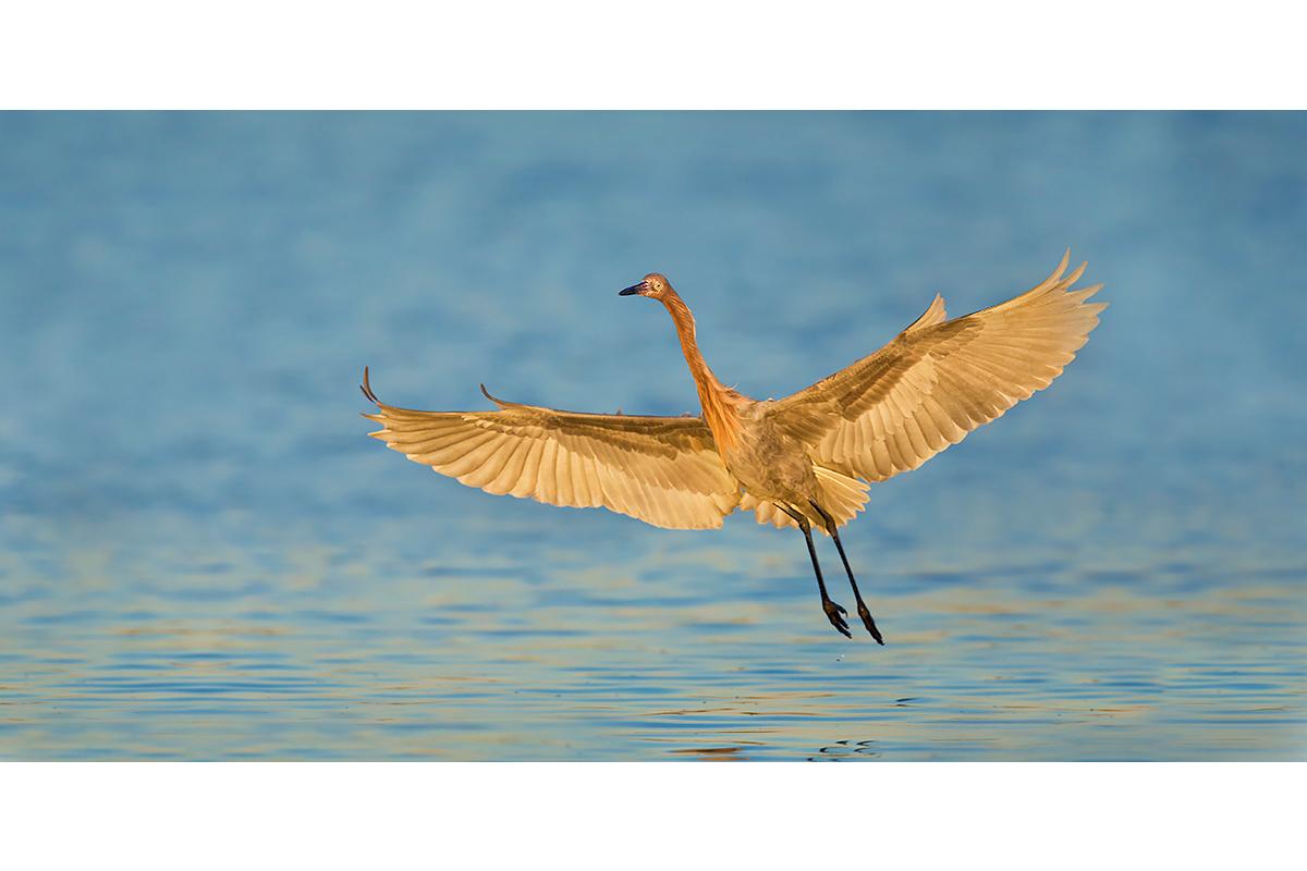 Fine Art Florida Birds_Glowing Incoming