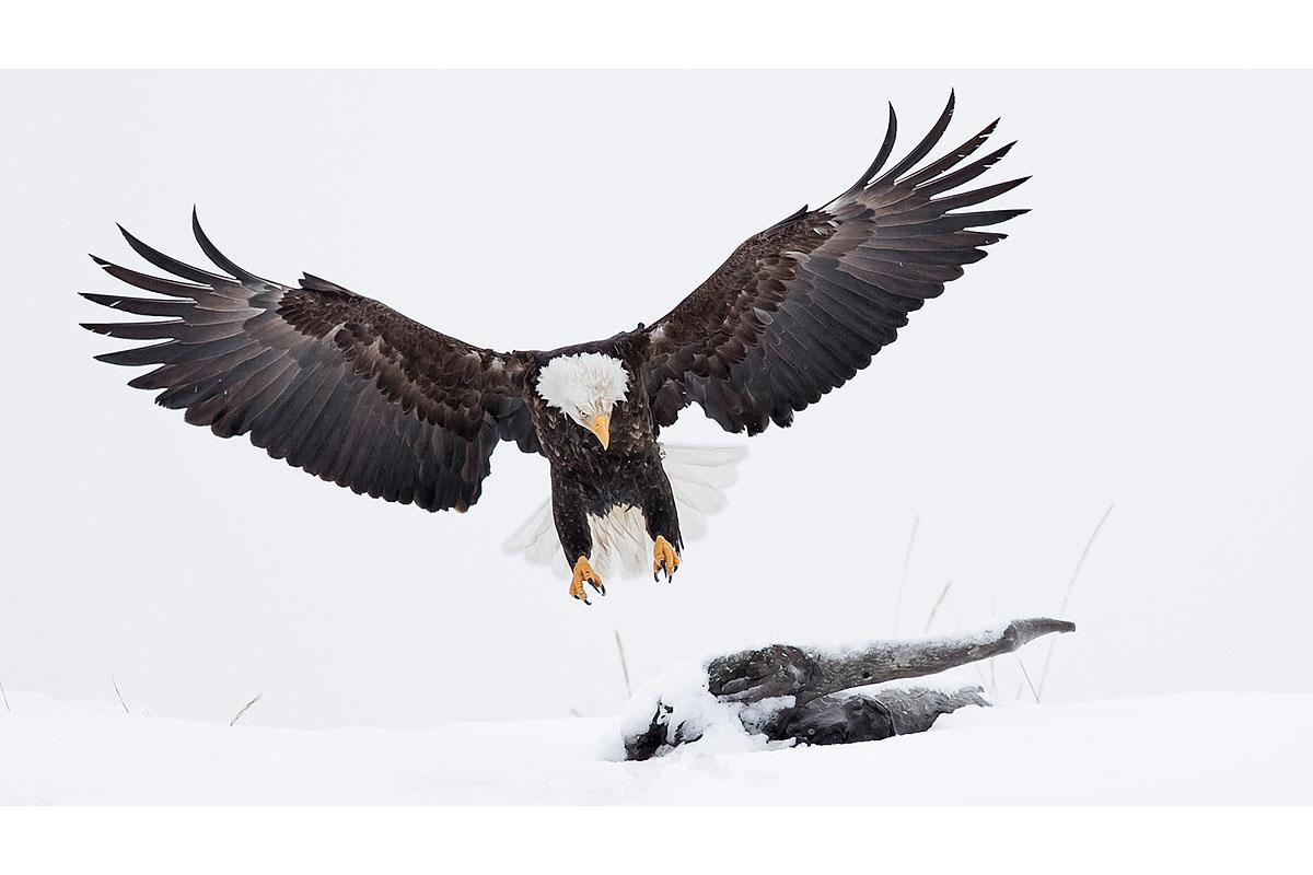 Alaska Bald Eagles_Fine Art_Landing Wings Wide