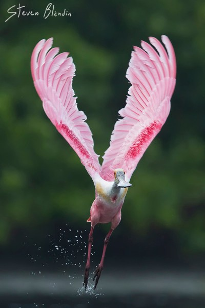 Florida Spoonbill taking off - Photo Tour