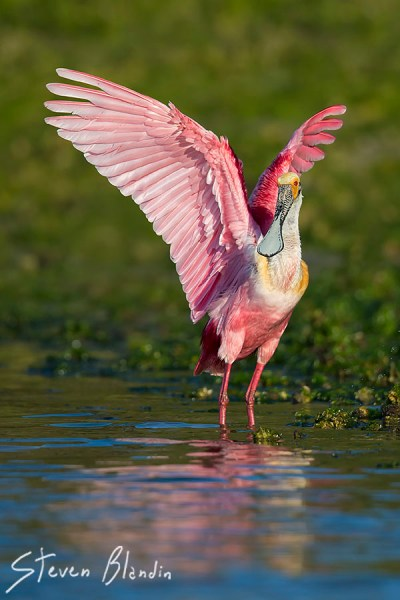 Spoonbill with breeding colors- Photography Workshop
