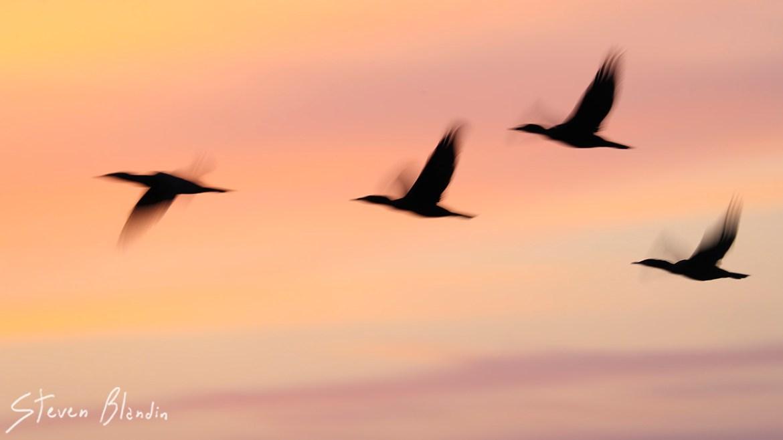 Double crested Cormorant artistic blurs