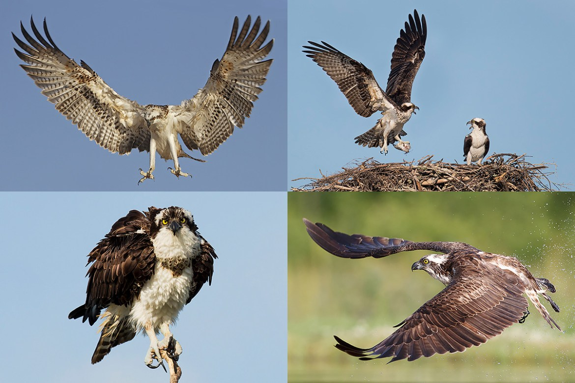 Florida Ospreys Photography Tour