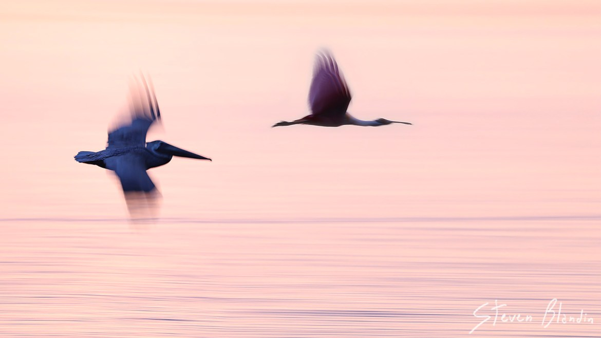 Spoonbill pleasing blur - bird photography tour