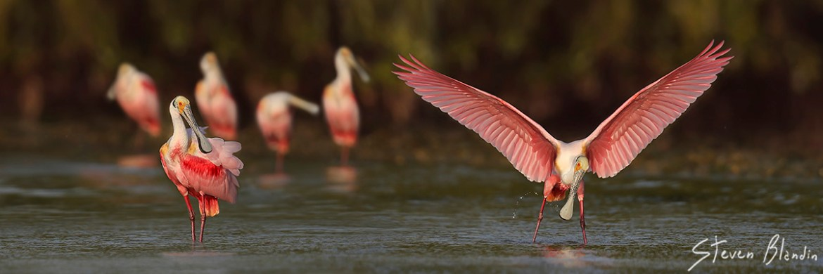 Roseate Spoonbills in action - Photography workshop