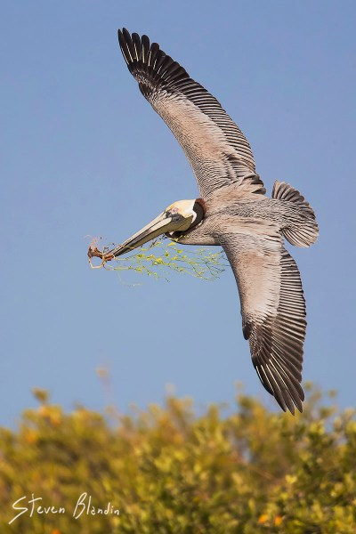 Brown Pelican banking in flight