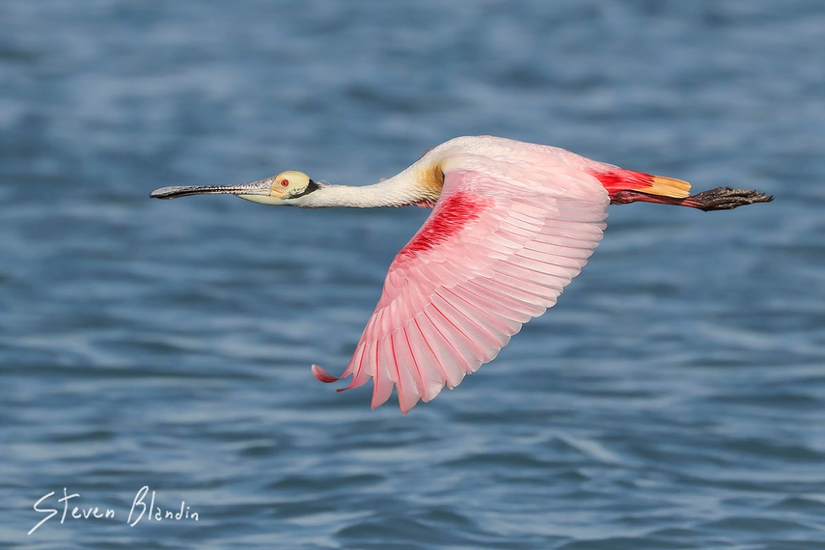 Florida Spoonbill in flight