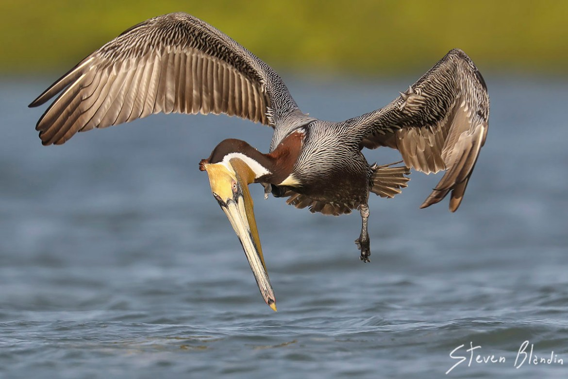 Florida Brown Pelican Photography Tour