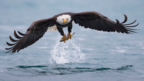 Alaska Bald Eagle Photo Tour