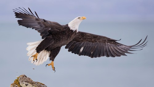 Alaska Bald Eagle Photography Tour
