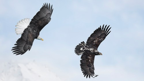 Alaska Bald Eagle Photography Tour_19