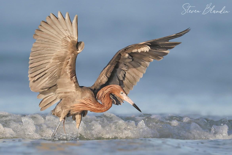 Reddish Egret Flaring Wings