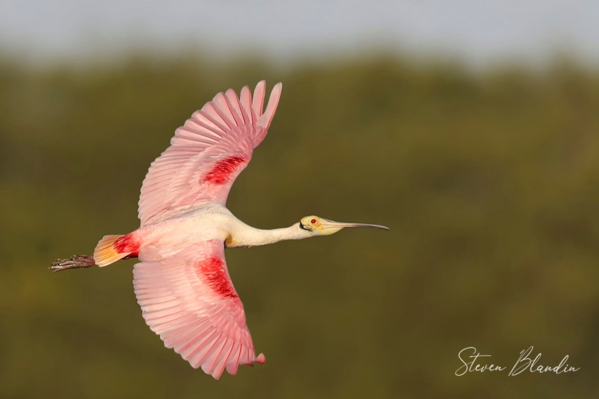 Florida Spoonbill banking - Photo Tour