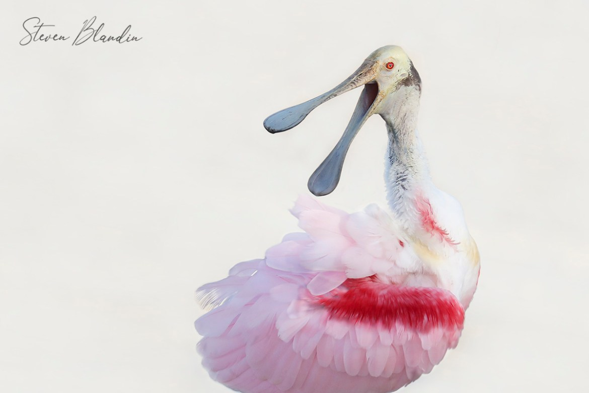 Roseate Spoonbill Squawking - Photography Workshop