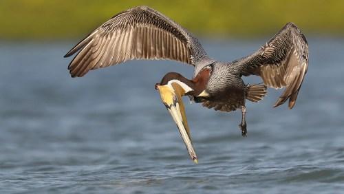 Spoonbill Tour_Brown Pelican