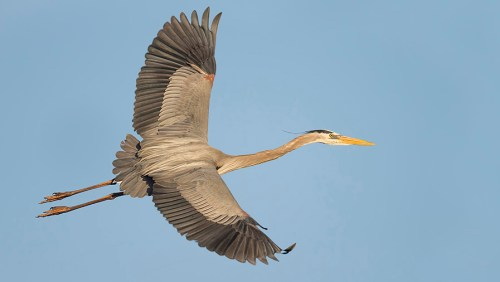 Spoonbill Tour_Great Blue Heron