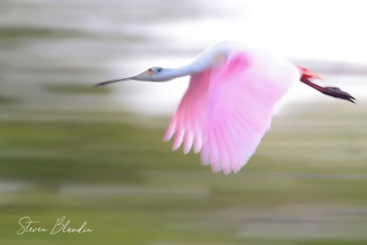 Spoonbill flight blur - Florida Photography tour