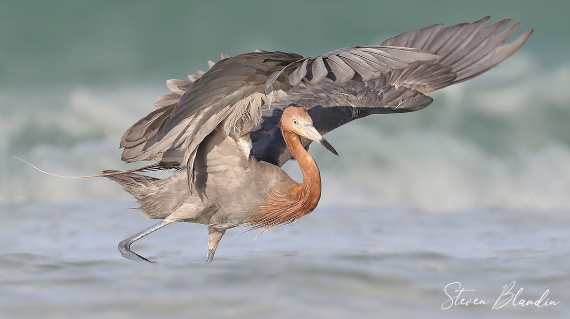 Reddish Egret Hunting In The Surf - Florida Bird Photography