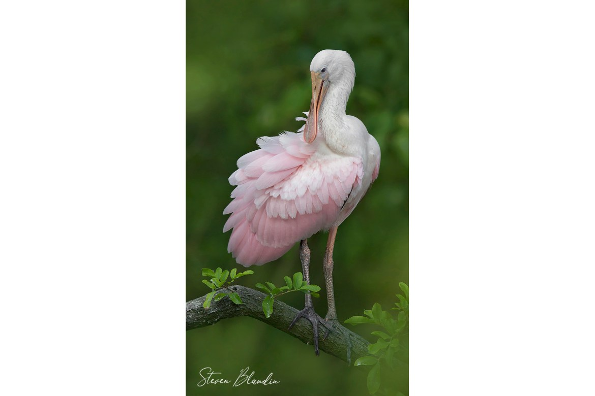 Juvenile Spoonbill - Tampa Bay Photography
