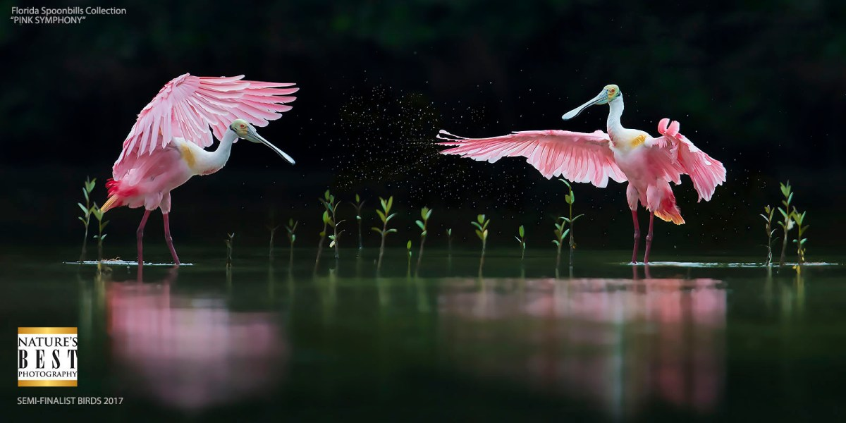 Florida Spoonbill Photography Tour - Pink Symphony