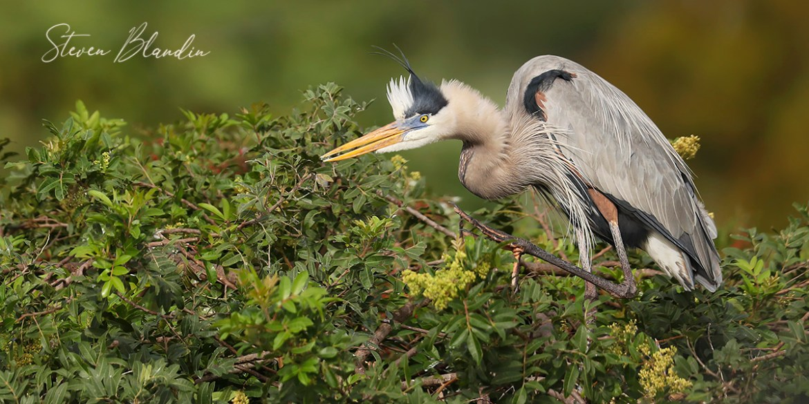 Great Blue Heron - Venice Rookery Photography