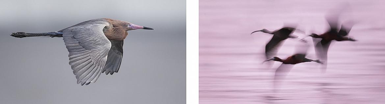 Reddish Egret - Photography Tour