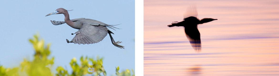 Little Blue Heron - Photography Workshop