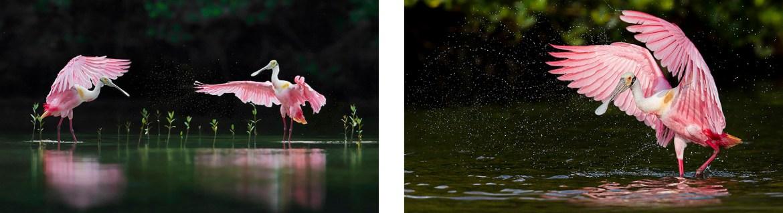 Florida Spoonbills Photography Tour