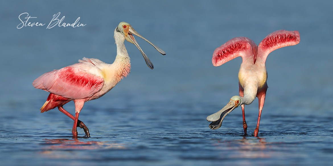 Roseate Spoonbills squawking - Photography Tour