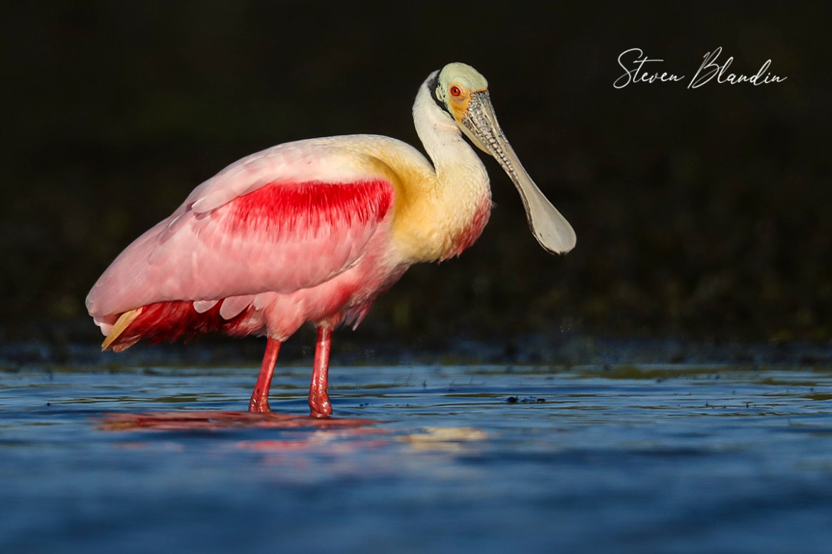 Roseate Spoonbill with breeding colors - Tampa Bay