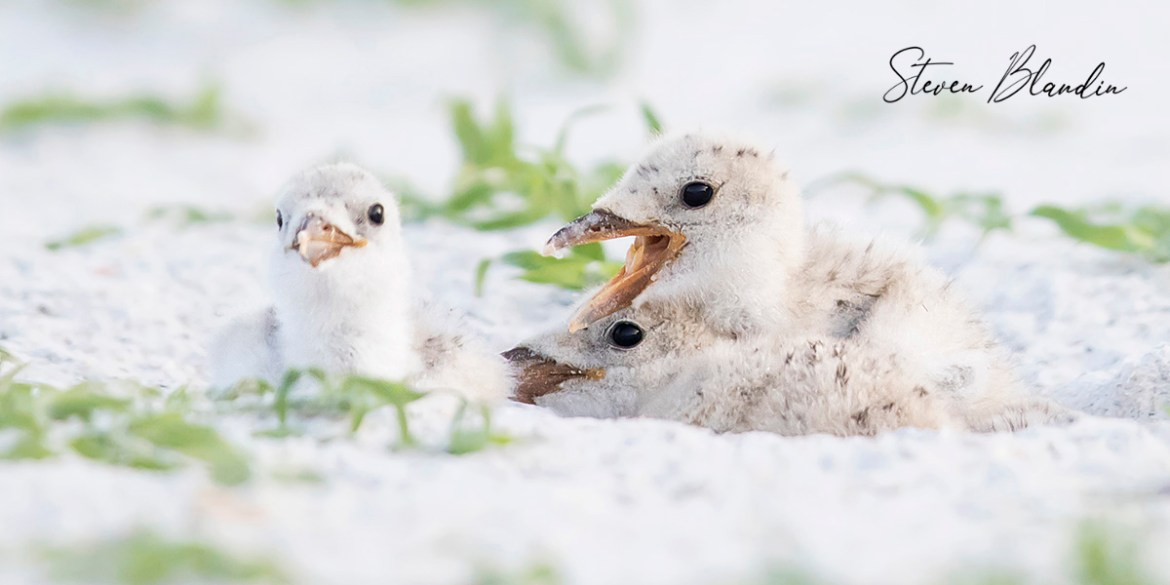 Black Skimmer chicks - Florida photography tour