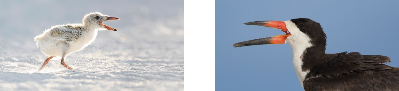 Black Skimmer Nesting Colony_Florida Bird Photography Tour