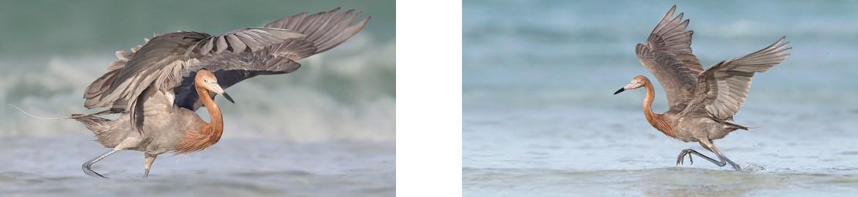 Reddish Egret_Florida Bird Photography Tour