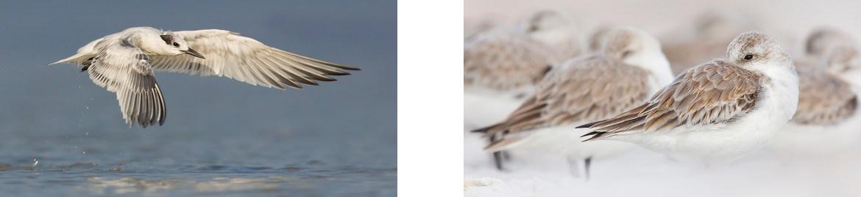 Sandwich Tern - Sanderlings