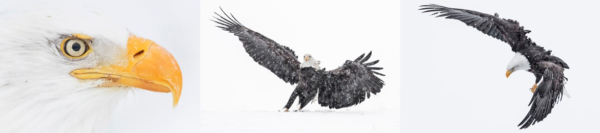 Alaska Bald Eagles Photography Tour