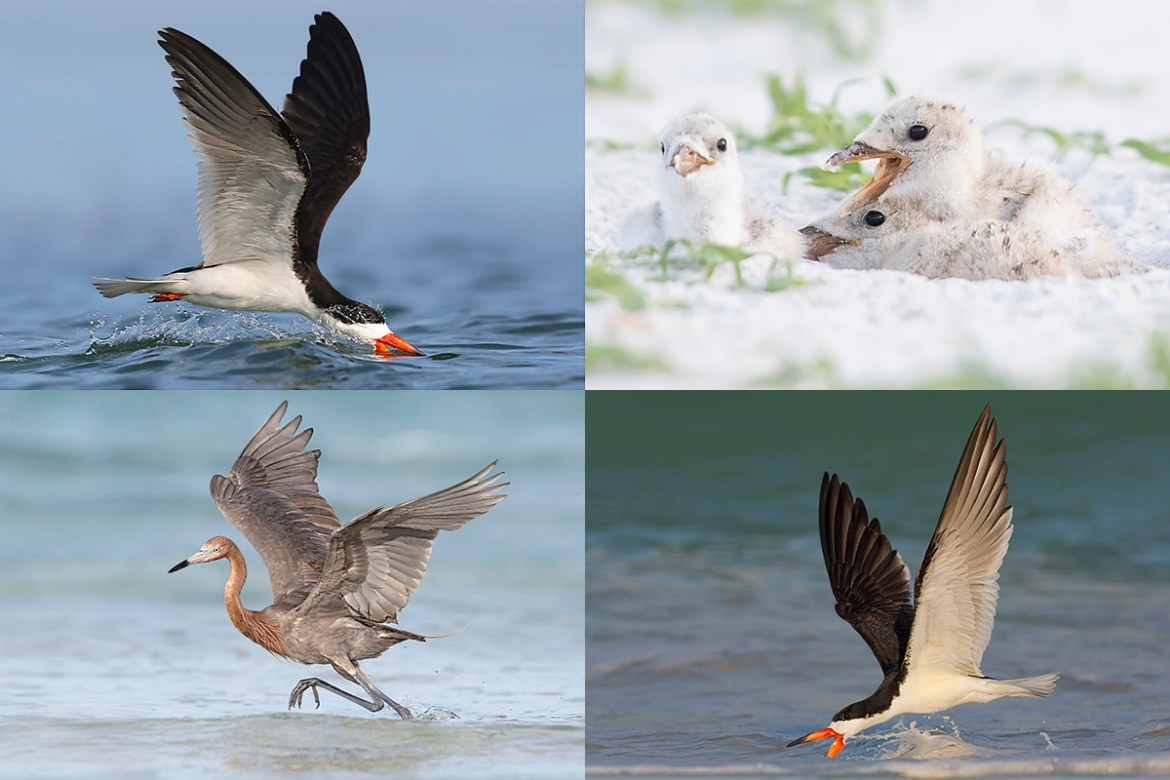 Black Skimmers colony photography tour teaser