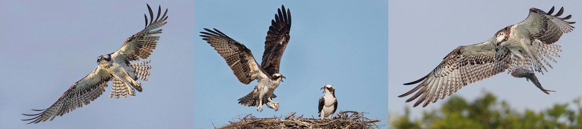 Florida Ospreys Photography Workshop