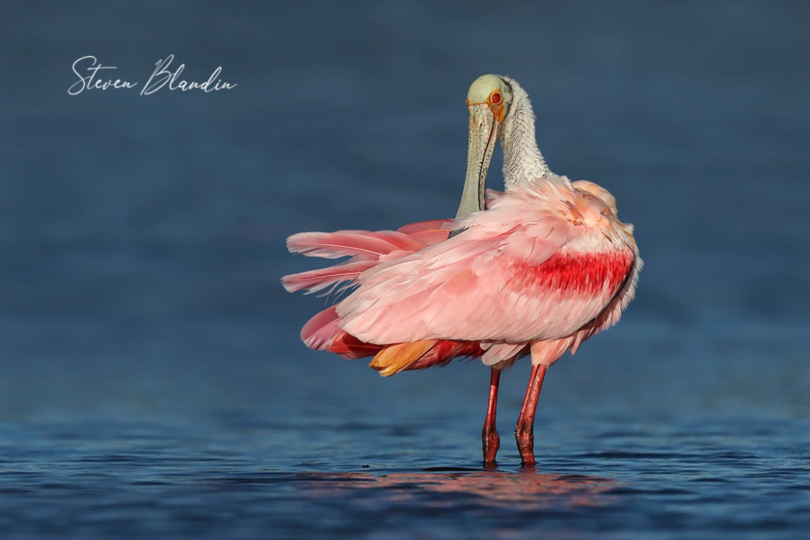 Roseate Spoonbill Preening - Photography Tour