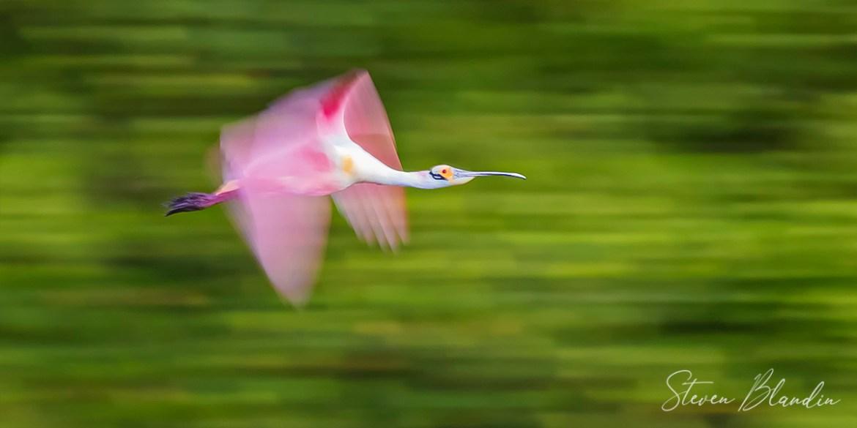 Roseate Spoonbill flight blur