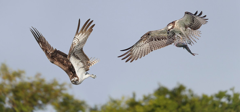 Florida Osprey Photography Tour_1