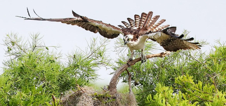 Florida Ospreys Photography Tour_2