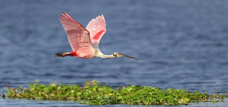 Florida Ospreys & Spoonbills Photography Tour_D77