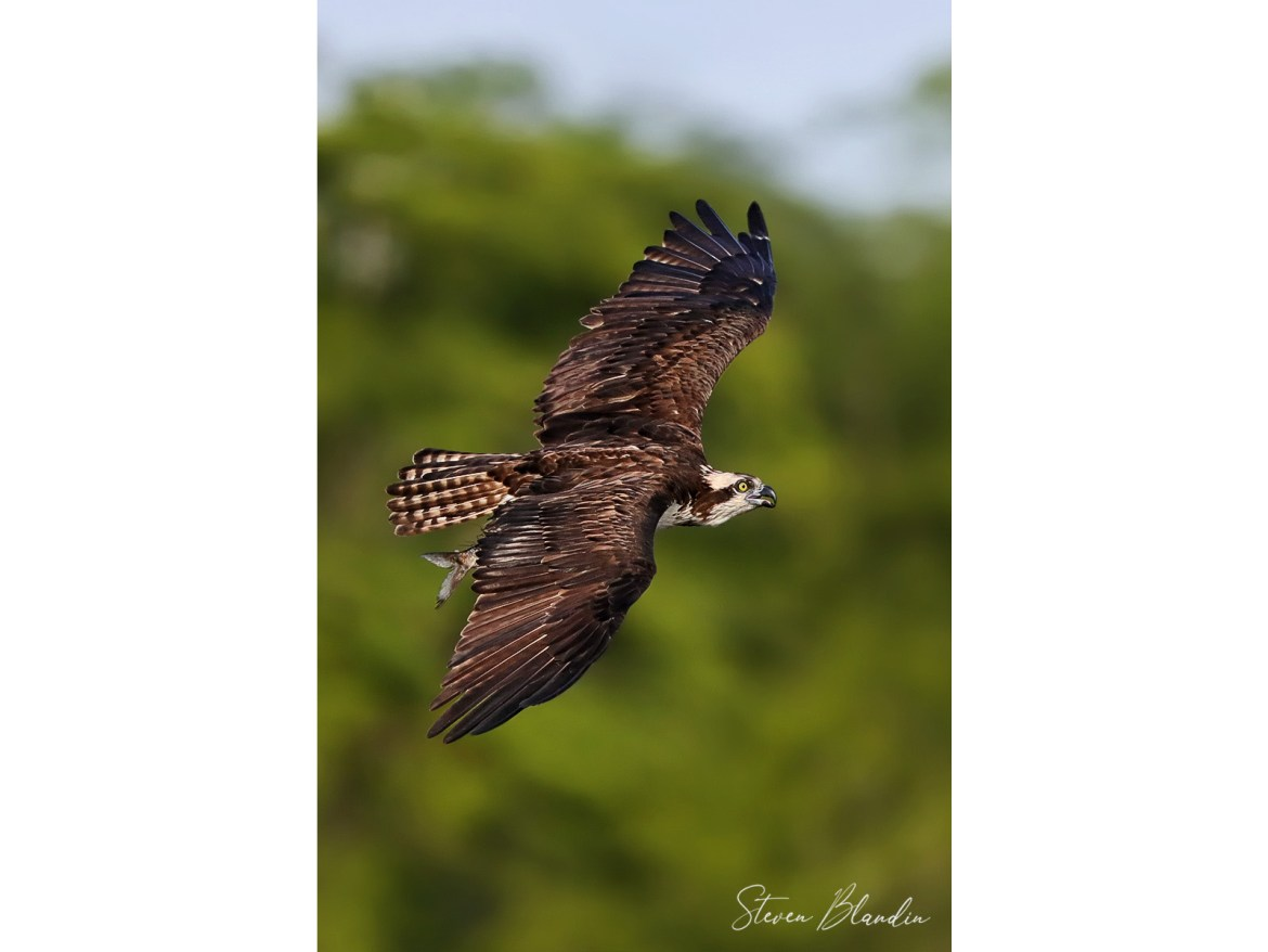 Osprey banking with fish
