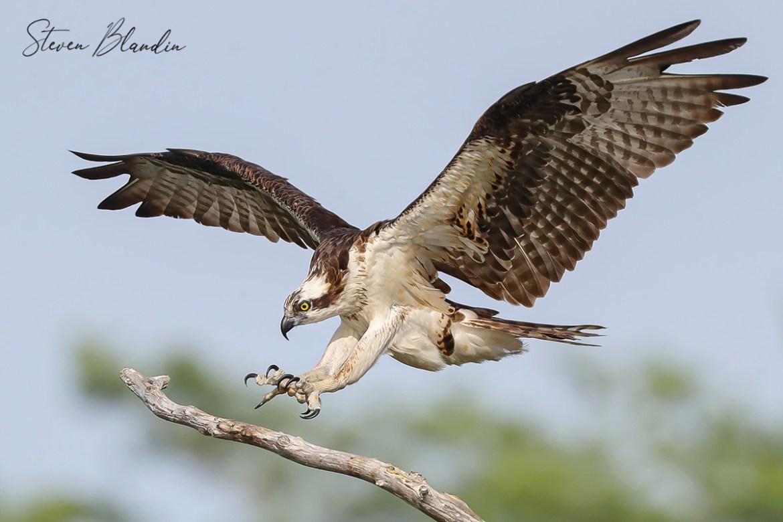 Osprey landing - Florida Tour