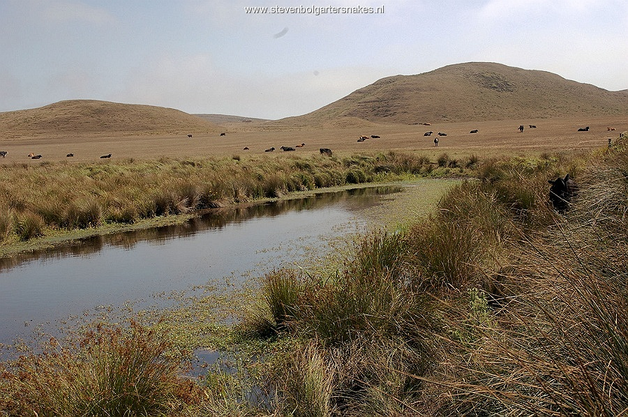Cattle pond in Marin County, California. Biotope of T.s.infernalis and T. a. atratus x hydrophilus