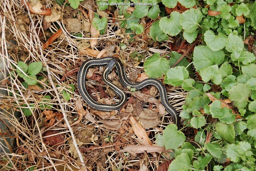 The first 2 weeks of March 2010 - Bright coloured male Thamnophis sirtalis pickeringii basking on March 14th