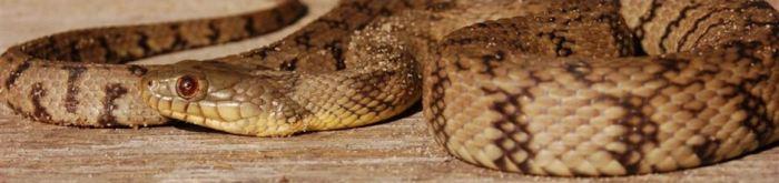 Nerodia rhombifer rhombifer * - Diamonback Garter Snake