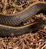 T.a.atratus in San Mateo County in California.